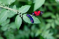 baudchon-baluchon-mindo-papillons-24