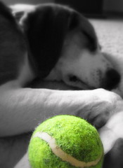 Dreaming of playing with the tennis ball.....Zzzzzzzzzz (arwen808) Tags: sleeping blackandwhite dog snow playing silly beagle oregon yard ball puppy spring mix canine sleepy primo lazy sunriver tennisball rescued selectivecolor rescuedog treeingwalkercoonhound bendoregonhumainesociety