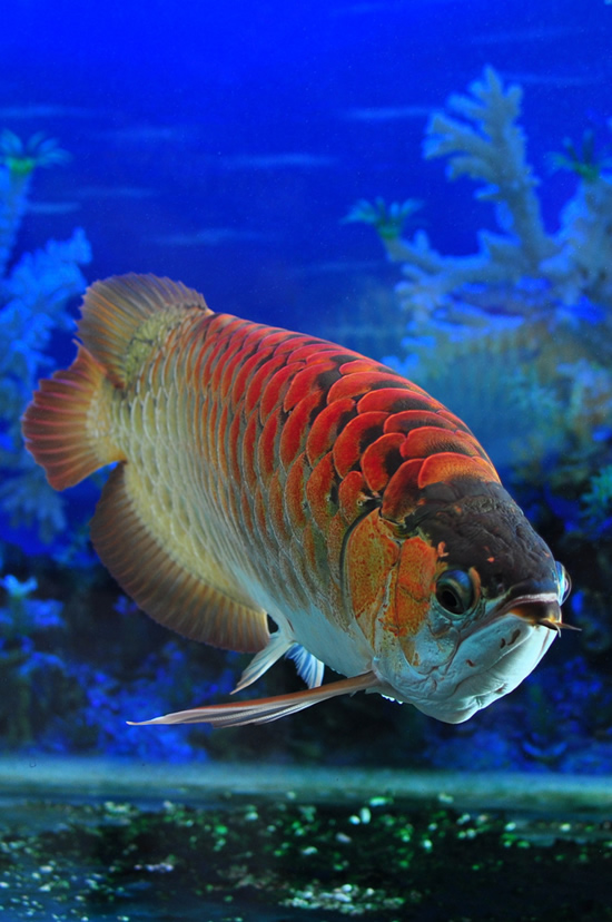 02_Red-Dragon-Fish7
