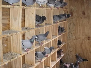 palomas mensajeras
