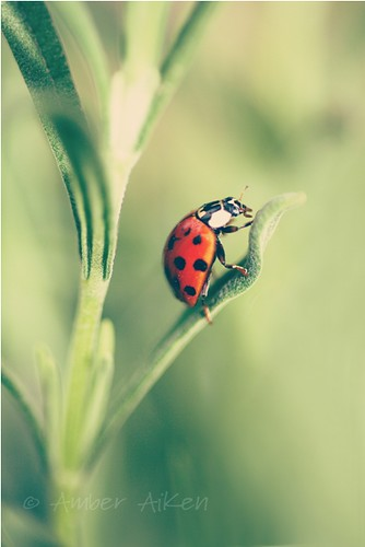Ladybug on Lavender I