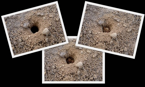 12411 - Mining Bee closing its burrow