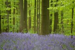 Blue Bells 2010 (avoidman) Tags: blue green bluebells belgium tervuren sprin