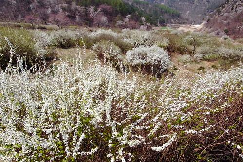 조팝나무, 싸리꽃
