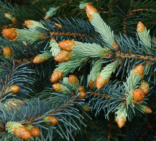 The blue spruces are bursting into new growth.