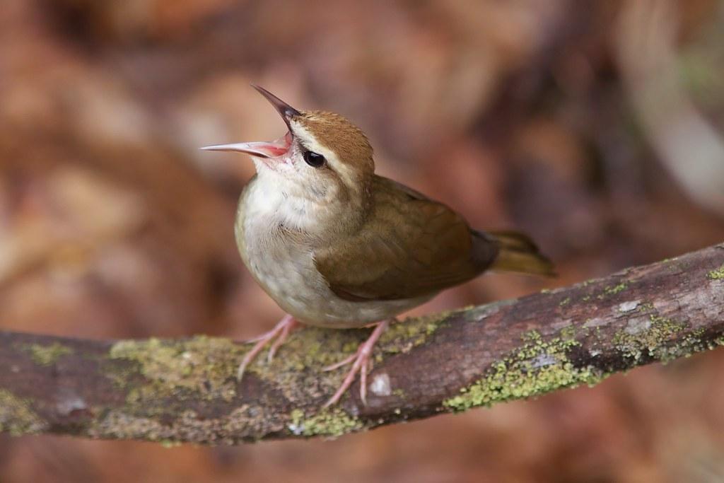 Swainson's Warbler singing, WV