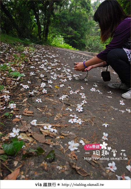 【苗栗油桐花季】苗栗頭屋~夢幻桐花步道8