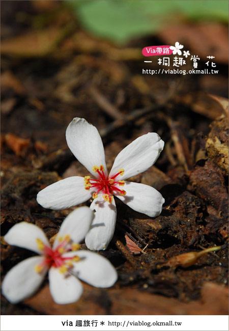 【苗栗油桐花季】苗栗頭屋~夢幻桐花步道13