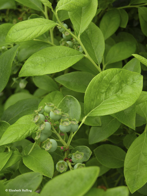 Blueberries forming