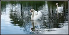 Zwaan 2 (Wessel Haan) Tags: bird water swan swans vogel emmen zwaan zwanen kleinerietplas canoneos1000d