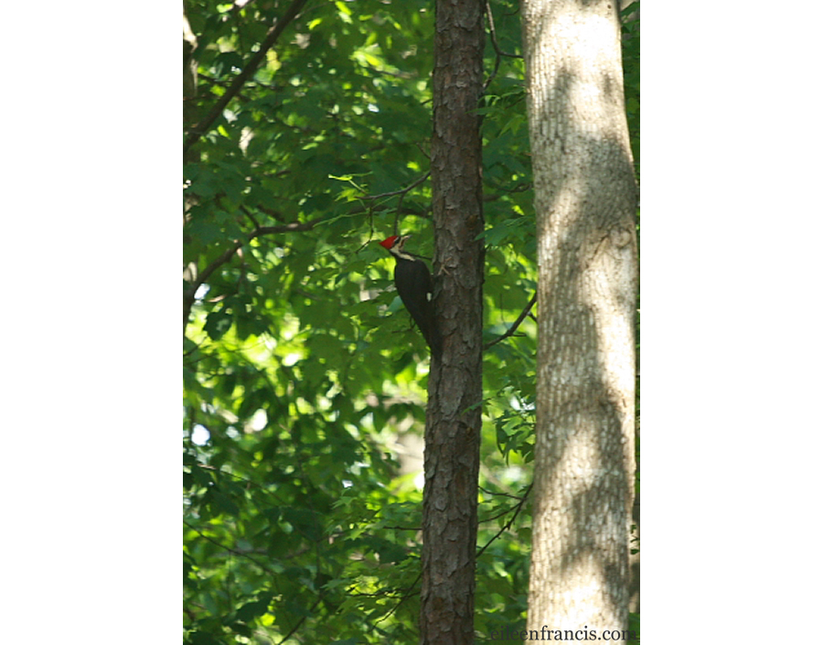 pileated-post