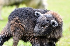 DSC_1755 Herdwick lamb (wilkie,j ( says NO to badger cull :() Tags: spring sheep lakedistrict cumbria lambs buttermere