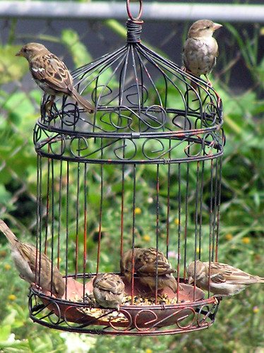 Sparrows in Feeder