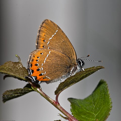 Black Hairstreak (Chris@184) Tags: canon butterfly insect eos tripod lepidoptera 30d caron insecta canonspeedlite550ex canoneos30d satyriumpruni blackhairstreak captivebred chris184 sigma180mmf35exdg