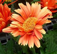 GERBERA ORANGE (picolojojo) Tags: flower nature fleur panasonic gerbera thesuperbmasterpiece