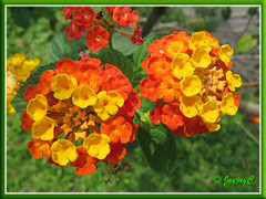 Lantana camara 'Florida Mound Orange' with yellow/orange flowers