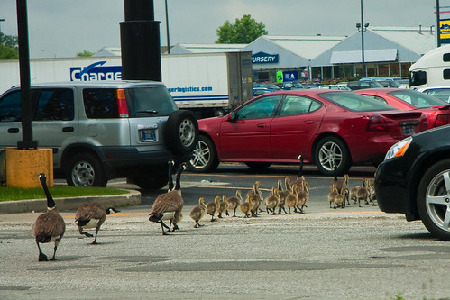 Geese. They hate me. HATE.