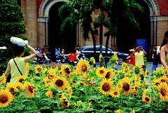 Ho Chi Minh, Vietnam - Daisies (afterw0rdz) Tags: flowers daisies vietnam chi ho minh saigon