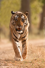 The Emperor of Kanha (The Eternity Photography) Tags: india tourism nature animal closeup forest canon mammal nationalpark asia wildlife tiger safari explore bigcat jungle 2009 sanctuary wwf wildlifesafari dig