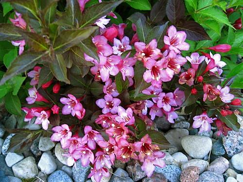 Mystery flower bush
