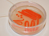 Streaked Plate #1 (Ashley_Keels) Tags: blue white rainbow dish streak plate screen bacteria petri ecoli agar