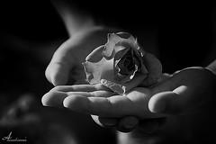 [ Explore ] (ANOODONNA) Tags: light flower blackwhite hands explore  sigma105mmf28exdgmacro  canoneos40d flickrunitedaward anoodonna  alanoodalrasheed