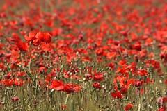Campo rosso, vergogna del contadino... (Lookaloopy) Tags: red sea canon eos mar estate sigma emilia giugno rosso papaveri grano romagna 70300 450d
