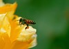 Bees Life in the Cacti World! (Naseer Ommer) Tags: flower cacti canon bee pollen invertibrates naseerommer canoneos40d chinnarwildlifesanctuary dpinternational discoverplanetinternational dryscrubjungle