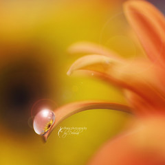 FOR FAISAL (dhmig) Tags: orange flower macro petals nikon bokeh drop nikond50 gerbera flare dhmig dhmigphotography