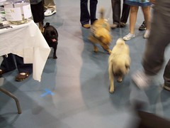 Pugfest 014 (cwisty5) Tags: pug milwaukee fest