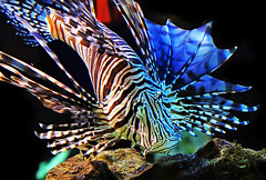 Lion Fish (kass) Tags: city brazil urban fish brasil fantastic museu photographer saopaulo sopaulo cit capital peixe metropolis urbano brasileiro aqurio urbanscenes paulista sentiments diamant posie ensaiofotogrfico urbanscenery catavento cenaurbana paulistano paulicia jornadafotogrfica fineartphotos sadafotogrfica motions anawesomeshot excellentphotographerawards flickrbr goldstaraward espirits cityofsaopaulo kass peixevenenoso