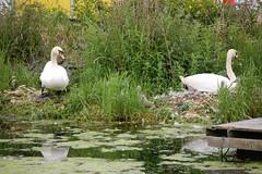 Mute swan nest (gordonjc) Tags: birds animals scotland swan nest cygnet muteswan strathclydecountrypark northlanarkshire strathclydeloch