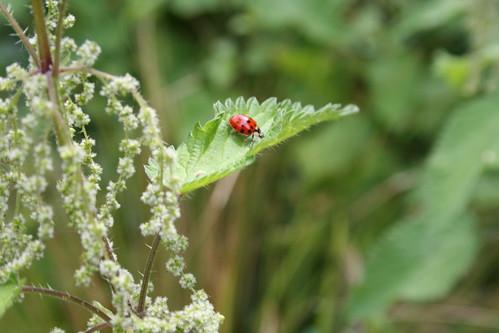 Ladybird on a Nettle
