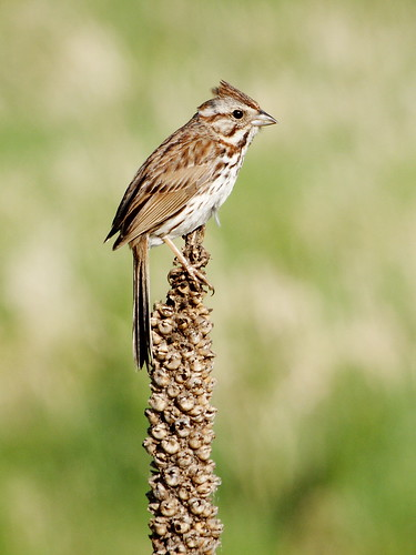 A Song Sparrow perching on last year's mullein at Sherburne National Wildlife Refuge in Minnesota.