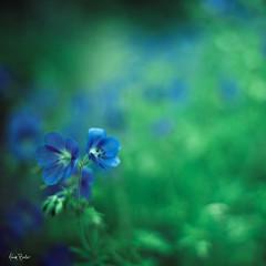 adrift ([Adam Baker]) Tags: blue summer flower green canon square bokeh arboretum 50mm14 cornell swirly plantations adambaker 5dmarkii petob