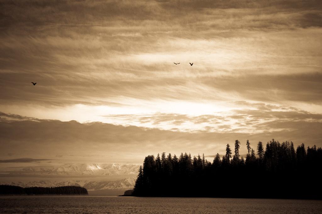 Three bald eagles, Yakutat, Alaska