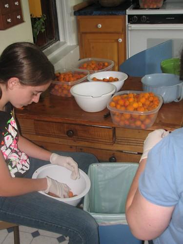 culling apricots