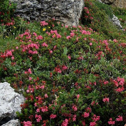 Rododendri 2