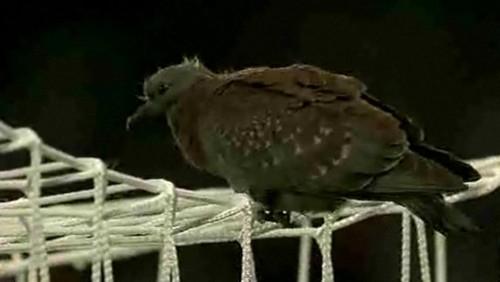 Juvenile speckled pigeon2