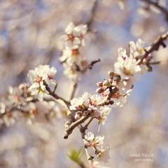 Pretty softness (Isabel Pava) Tags: pink white nature spring bokeh