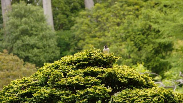 Oregon Junco in the Japanese Tea Garden