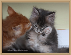 Don't cry (eleda 1) Tags: friends kissing crying kittens washing mainecoonkittens petportraits mainecoons fluffly bestofcats boc0610 washingyourfriend ottisottisandanother