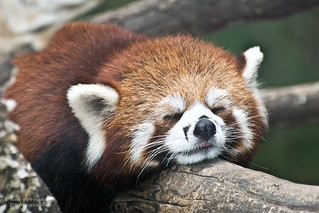 Red Panda Just Barely Awake at the Beijing Zoo