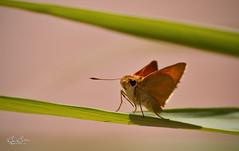 Lil Skipper (Bjrn Burton) Tags: orange macro grass closeup butterfly insect spring flyer nikon dof little lasvegas bokeh skipper wetlands d90 lasvegaswetlands bjornburton