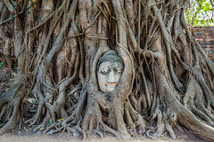 Buddha Head banyan tree Wat Mahathat Ayutthaya bangkok thailand (Kuvhlubkojlawm) Tags: ayutthaya bangkok closeup religion thailand watphramahathat banyan banyantree buddha buddhism buddhist carving detail exteriors famousplace head landmark landmarks nobody outdoors travel traveldestination tree france