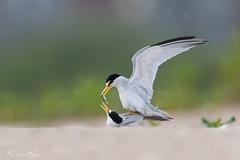 Tern Love (Khurram Khan...) Tags: leasttern wildlife wildlifephotography shorebirds wwwkhurramkhanphotocom khurramkhan nikon naturephotography birdsphtography birds iamnikon naturephotos beach explored