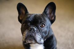 "Quick Shots (Lainey1) Tags: oz ozzy dog frenchie bulldog lainey1 elainedudzinski frogdog zendog frenchbulldog ozzythefrenchie fuji fujinon fujifilm fujigal fujixt10 ""fuji 35mm f2 wr lens"""