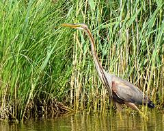 Héron pourpré 04 (jean-daniel david) Tags: oiseau oiseaudeau nature héronpourpré héron étang eau lacdeneuchâtel lac roseau réservenaturelle