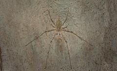 the Tamopsis Five : 4 (dustaway) Tags: arthropoda arachnida araneae araneomorphae hersiliidae tamopsis longspinneretbarkspider australianspiders spideronbark lismore northernrivers nsw nature australia bark myrtaceae corymbia corymbiacitriodora male