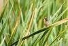 Streaked Weaver Female (PB2_1824) (Param-Roving-Photog) Tags: streaked weaver female bird yellow grass lake wildlife wetland ropar ramsar punjab wildlifephotography indianwildlife birding nikon tamron